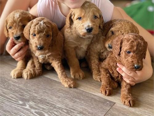 F1B Cavapoo Puppies