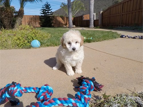 Male Goldendoodle Puppy!!