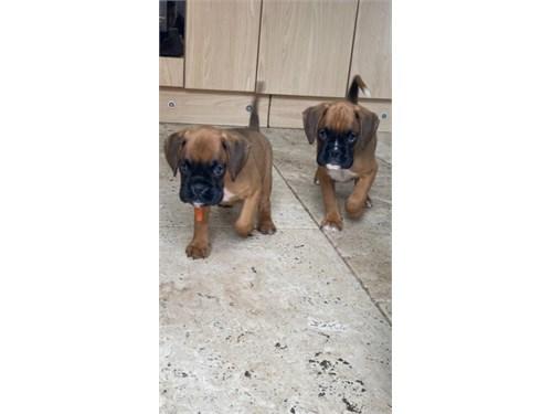 soft Boxer pups