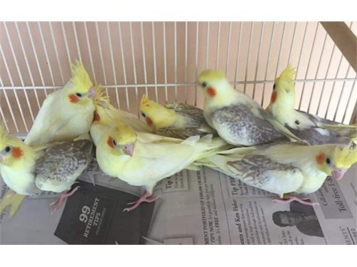 Cute Baby Cockatiels