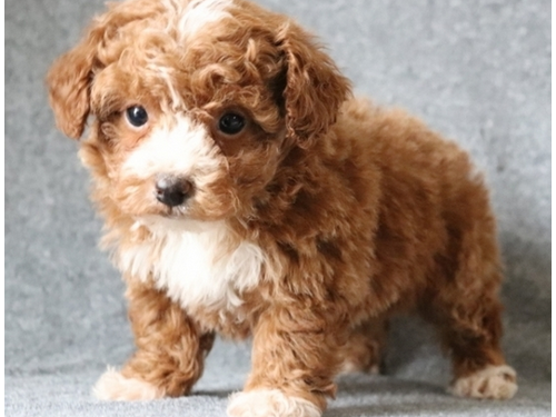 Sweetest Toy Poodle Pups