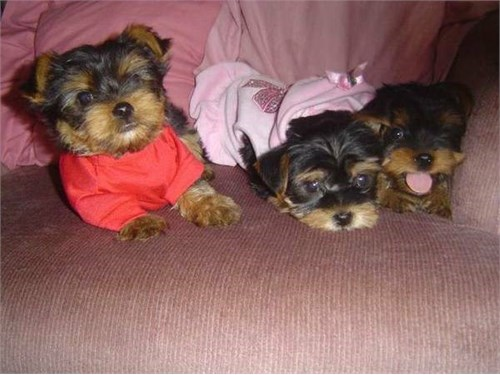 5 adorable yorkie pupp