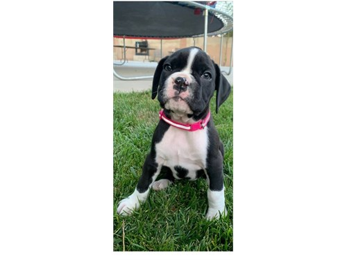 AKC Boxer Female Puppy