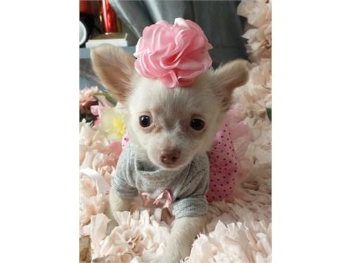 Chihu@hu@ Puppies up