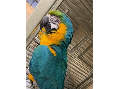 Nice Blue and Gold Macaws