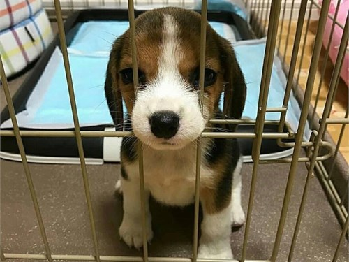 Beagle pup available now