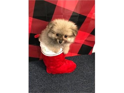 Brown Pom Puppy Ready!!!