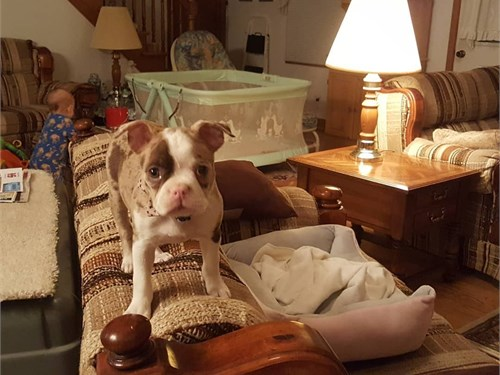Boston Terrier Puppies :