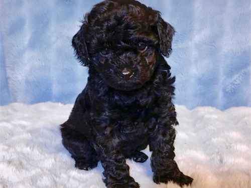 MALTIPOO PUPPIES FOR SALE