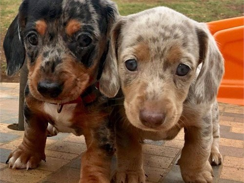 Dachshund puppies ready