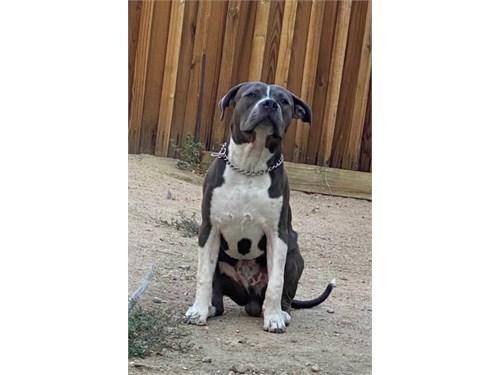7mo blue nose pitbull pup
