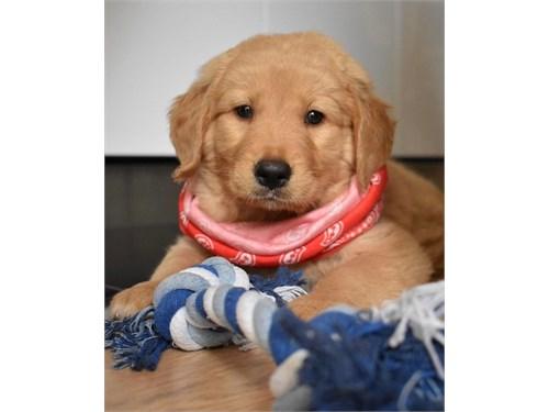 golden puppies 4 sale