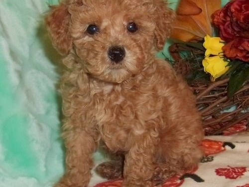 toy poodle pups for sale