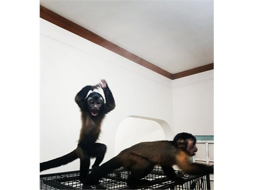 USDA license capuchins