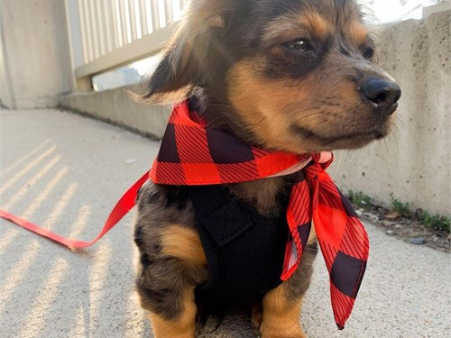 Adorable Chiweenie puppy