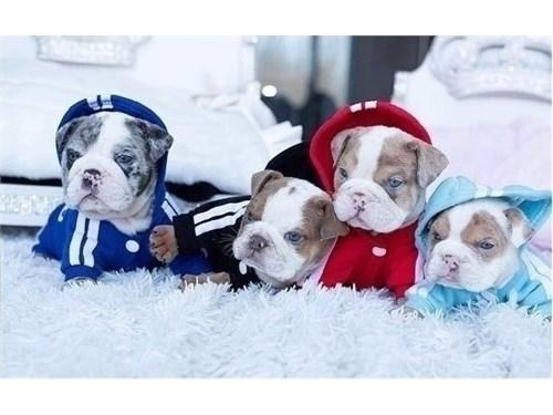 Mini English Bulldog Pups