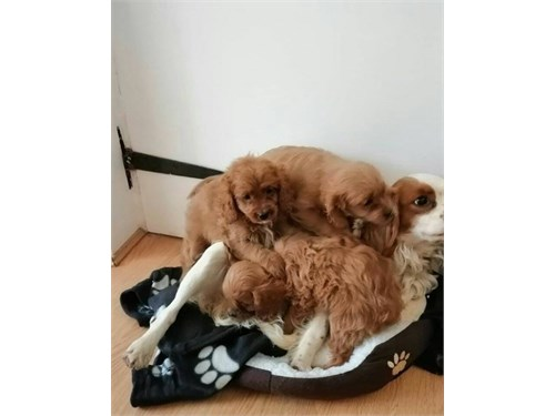 Cavapoo puppy available