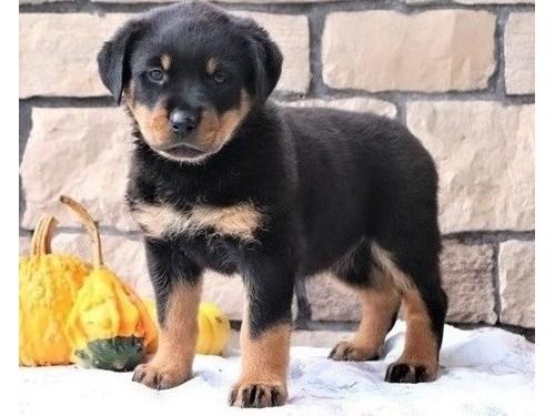charming Rottweiler pup