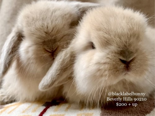 Holland Lop Babes 1/10