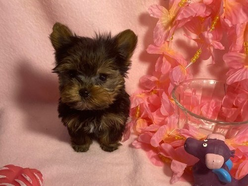 Cute T Cup Yorkie Pups,