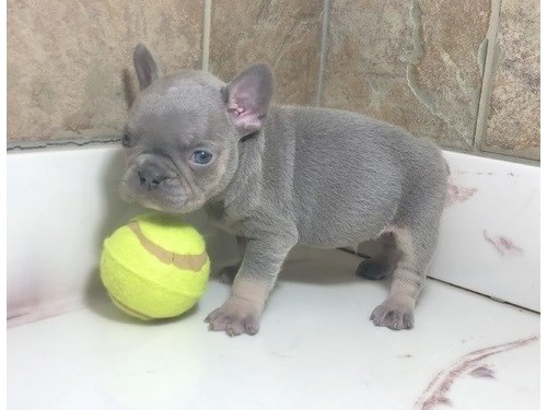 laudable French bulldog