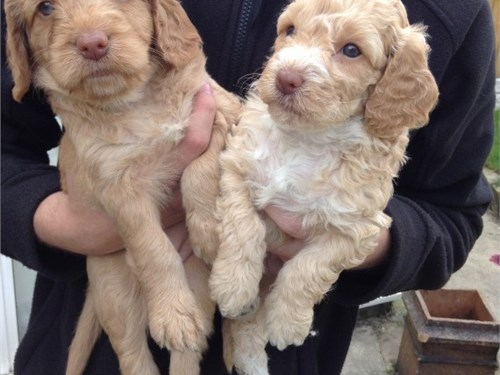 Socialized Cockapoo Pups