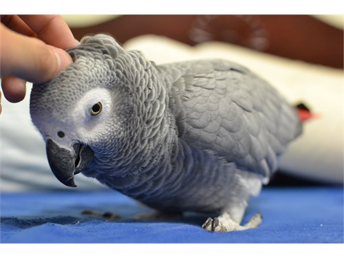 Adorable African Greys