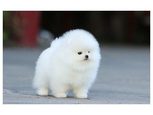 brilliant Pomeranian pup