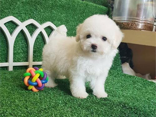 Kelly – Teacup poodle pup