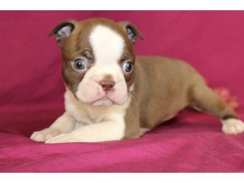 Bo-ston te-rriers puppies