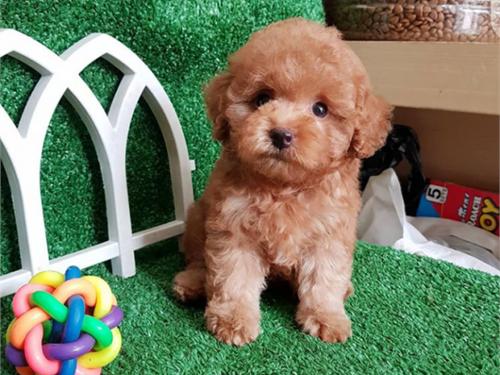 Horty – Teacup poodle pup
