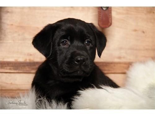 ttfcute la.br.ador pupps