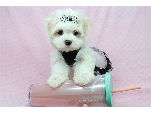 Teacup & Toy Maltese