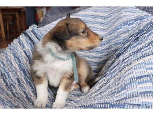 Healthy Collie Pups Ready