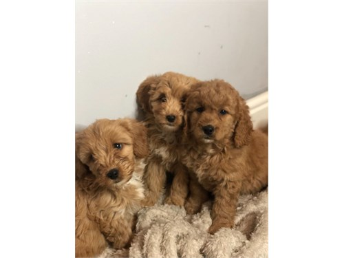cute cavapoos available