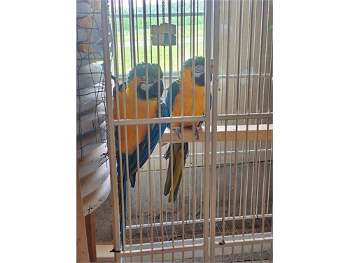 Macaw-Bonded Pair-M&F