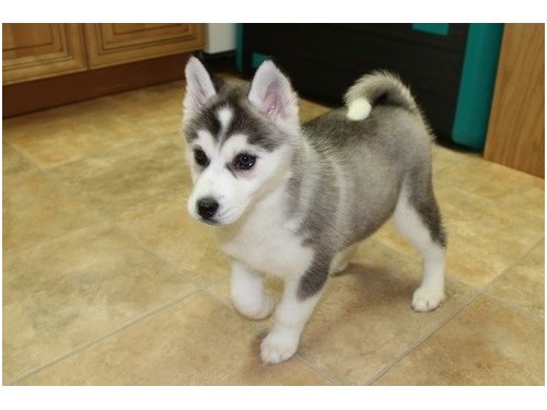 Out Standing Husky