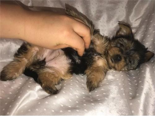Yorkie Girl Puppy, Yorksh