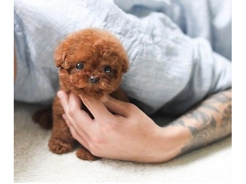 Apricot Pure Toy Poodle