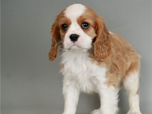 Adorable cavalier puppies