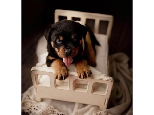 snso Rottweiler Puppies
