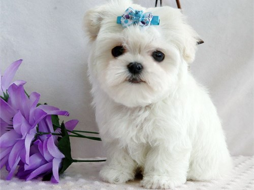 Adorable Maltese Puppies!