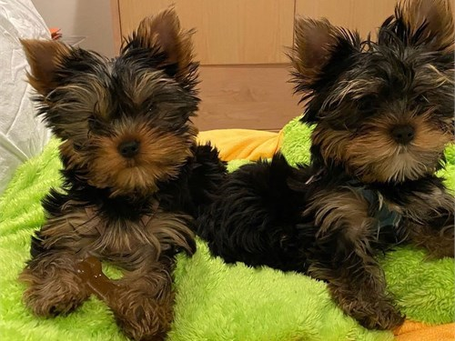 Yorkie pups Xmas slash