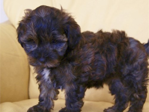 MALTIPOOS PUPPIE FOR SALE