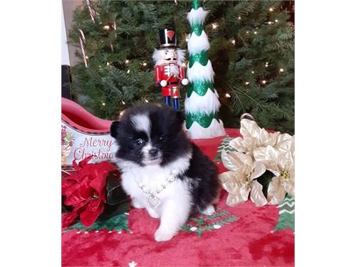 Tuxedo pomeranian pup