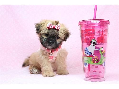 Teacup Malshi Puppies