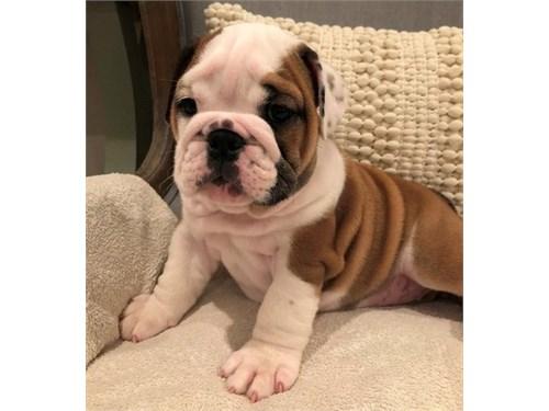 Reg English Bulldog Pups
