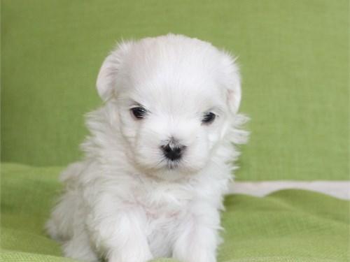 Maltese Puppy Male Pets San Go