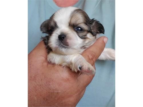 Shih Tzu Puppy - male