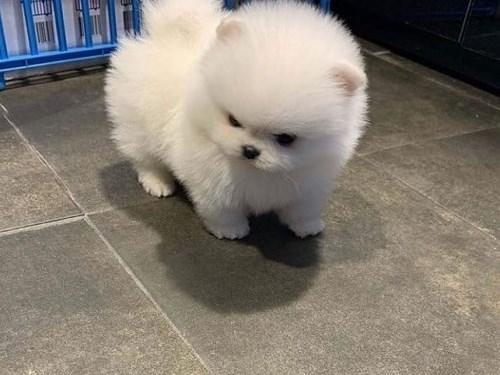 Pomeranian puppies Avail